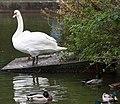 Swans in Herbert Park, Ballsbridge, Dublin (10600602153).jpg