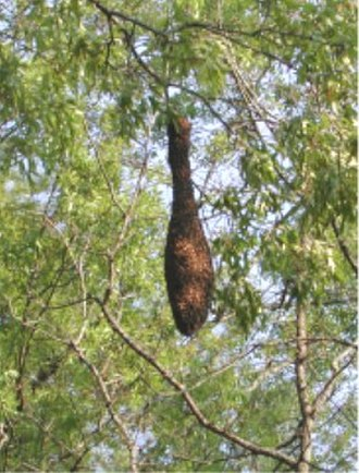 Honey bee life cycle - Honey bee swarm pitched on a high limb