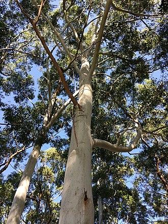 Eucalyptus saligna - Sydney blue gum (Eucalyptus saligna), Lilli Pilli NSW Australia