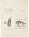 Synotus barbastellus - 1700-1880 - Print - Iconographia Zoologica - Special Collections University of Amsterdam - UBA01 IZ20800101.tif