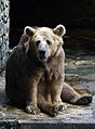 Syrian Brown bear at dehiwala.jpg