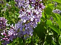 Syringa vulgaris-Lilac-Chepan.jpg