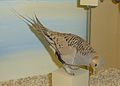 Syrrhaptes paradoxus Museum de Genève.JPG