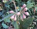 Syzygium Munronii 06.JPG