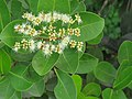 Syzygium caryophyllatum - South Indian Plum at Mayyil (4).jpg