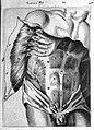 T. Bartholin, bauchmuskeln Wellcome L0007805.jpg