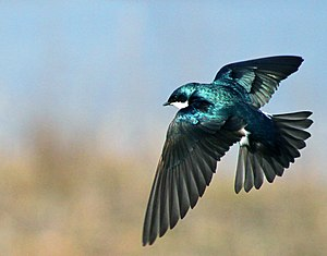 Tree swallow - Flying in Central New York, US