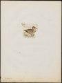 Tadorna naevosa - 1820-1863 - Print - Iconographia Zoologica - Special Collections University of Amsterdam - UBA01 IZ17600285.tif