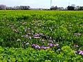 Tajimagahara Wild Primrose 10.jpg