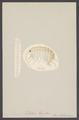 Talitrus locusta - - Print - Iconographia Zoologica - Special Collections University of Amsterdam - UBAINV0274 006 03 0003.tif