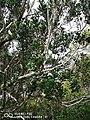 Taman Negara Kinabalu.jpg