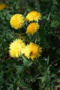 Dente di cane (Taraxacum Officinalis)