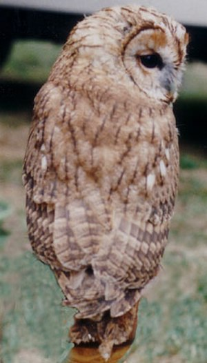 Tawny owl - An individual probably of the western subspecies S. a. sylvatica