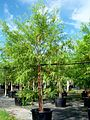 Taxodium Distichum (Bald Cypress) (28609932380).jpg