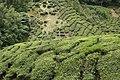 Tea plantations, Cameron Highlands, Malaysia.jpg