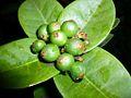 Techi fruit.JPG