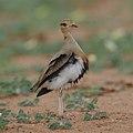 Temminck's courser, Cursorius temminckii, at Mapungubwe National Park, Limpopo Province, South Africa (46138157484).jpg
