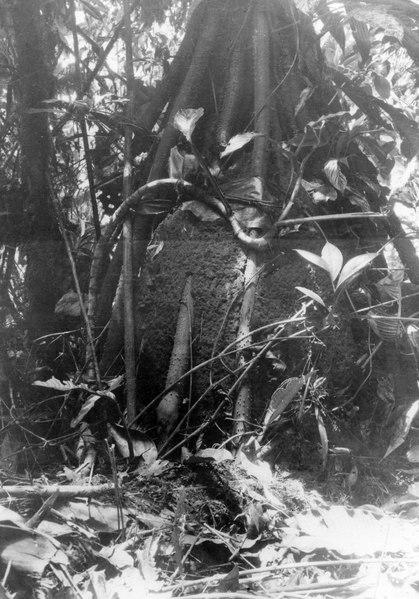 File:Termitbo i anslutning till träd. Sydamerika. Bolivia - SMVK - 002428.tif