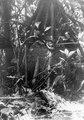Termitbo i anslutning till träd. Sydamerika. Bolivia - SMVK - 002428.tif