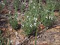 Teucrium integrifolium.jpg