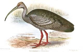 Giant ibis species of bird