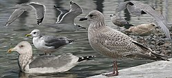 Thayers Gull From The Crossley ID Guide Eastern Birds.jpg