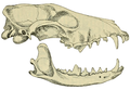 The Affinities of the Antarctic Wolf (Canis antarcticus) fig. 73.png