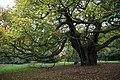 The Allerton Oak, Calderstones Park (geograph 4708901).jpg