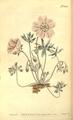The Botanical Magazine, Plate 504 (Volume 14, 1800).png
