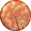 The Human blood under microscope 04.png