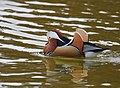 The Mandarin Duck of St. Ferdinand Park (45767785301).jpg