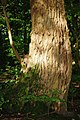 The Rough Bark of the Black Poplar Tree - geograph.org.uk - 528027.jpg