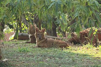 Dhole - Captive Indian wild dogs resting