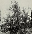 The effect of pruning in the training of young olive trees (1934) (20995771650).jpg