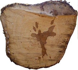 Hevea brasiliensis - Rubber tree trunk