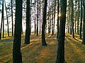 The forest - panoramio (1).jpg