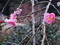 The prum blossoms in Makuyama-koen park, Yugawara - panoramio.jpg