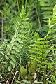 Thelypteris palustris 5498125.jpg