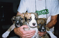 Three female Amstaff puppies.png