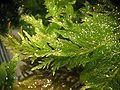 Thuidium tamariscinum detail.jpeg