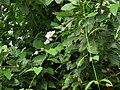 Thunbergia grandiflora Costa Rica.jpg