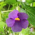 Thunbergia natalensis-IMG 0460.jpg