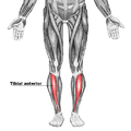 Tibial anterior.png