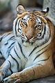 Tiger Relaxing (18889974814).jpg