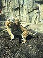 Tigers at Potawatomi Zoo.jpg