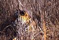 Tigress (Panthera tigris) in the grass (19635965478).jpg