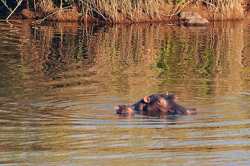 Hippos, Kruger National Park. From 10 of the Best Experiences on a Safari in Africa