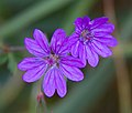 Tiny Purple Flowers (5781406345).jpg