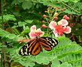 Tithorea harmonia. Harmonia Tiger-wing. on Caesalpinia - Flickr - gailhampshire.jpg