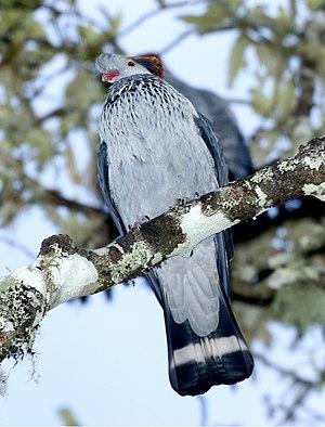 Topknot pigeon - Laminington Nat'l Park - Australia (flash photo)